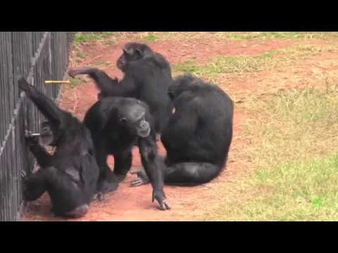 Chimpanzee Enforcement Strategy/Withholding