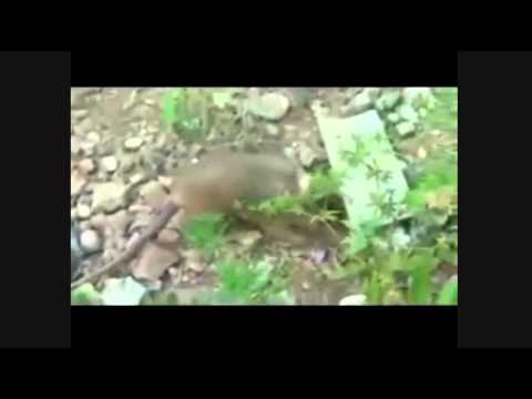 Mammals of the World: Cuban Solenodon