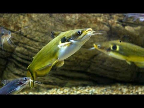 KY Wildlife Sun Catfish
