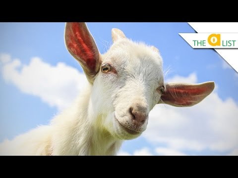 4-reasons-goats-are-better-than-dogs