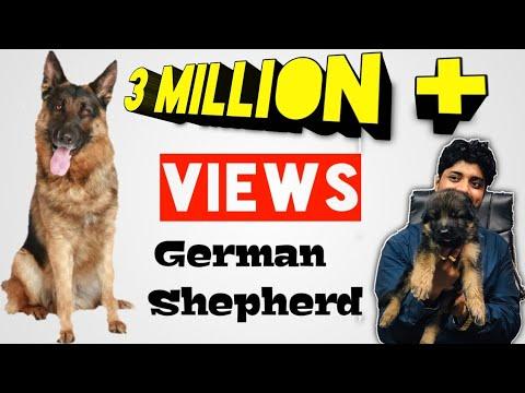 German shepherd puppies females 9999/-
