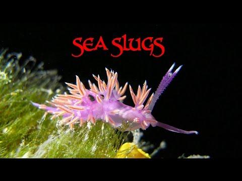 Tauchen - ohne Rückgrat - Nacktkiemer & Nacktschnecken / Nudibranchs & Sea Slugs