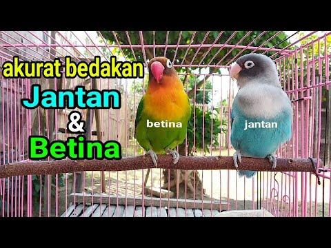 Tips Membedakan Lovebird Jantan Betina Youtube