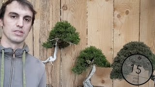 Backbudding and pruning Juniper Bonsai trees, Valentin Brose