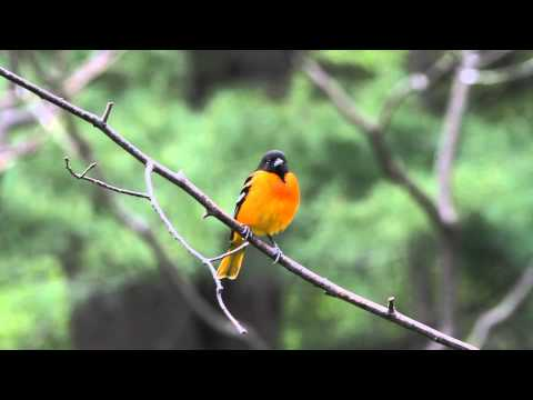 Baltimore Oriole Lazy Song