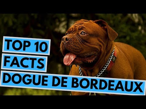 Dogue de Bordeaux - TOP 10 Interesting Facts
