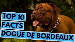 Dogue de Bordeaux  TOP 10 Interesting Facts