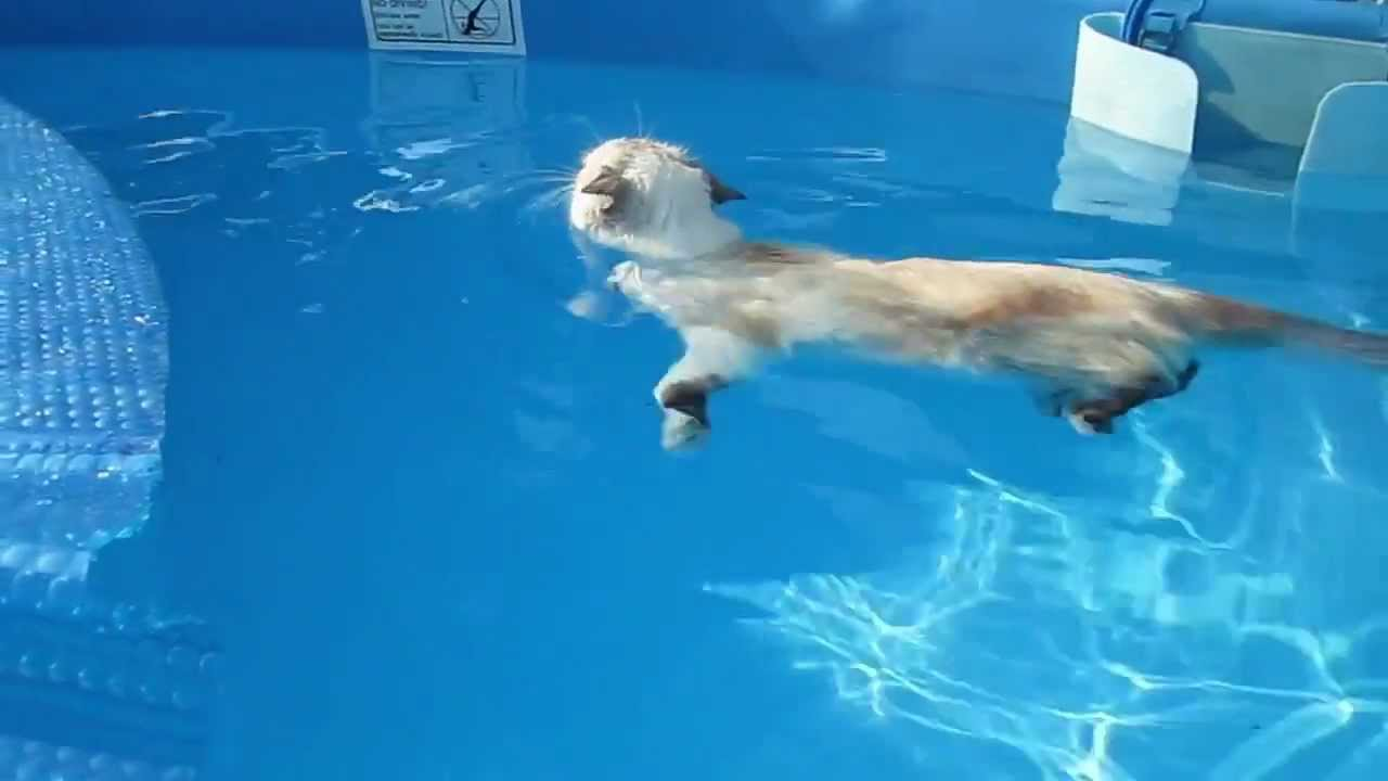 Cat In Swimming Pool : Cat swimming like a boss youtube