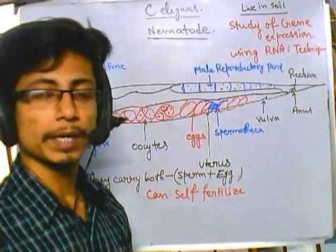 C  elegans introduction