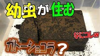 クワガタ&カブトムシ&昆虫採集 まるでガトーショコラ? マルガリータ...