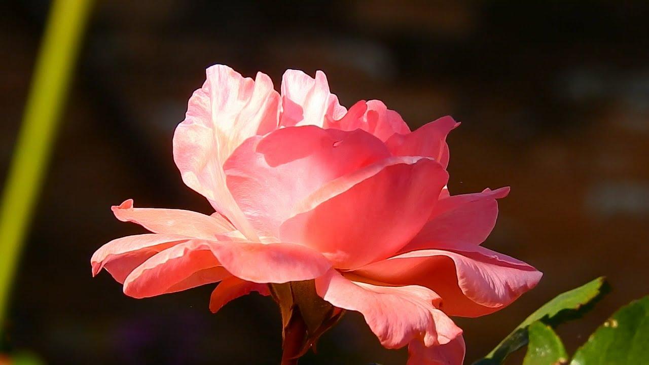 plantas e jardins ornamentais:Rosas cor-de-rosa, Plantas ornamentais, Flores e jardins, Vida no