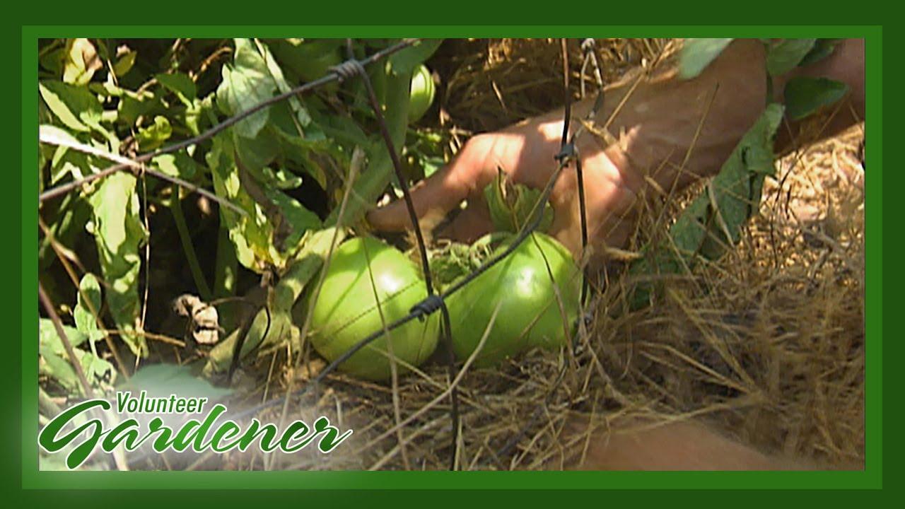 Mulch Benefits in the Organic Vegetable Garden | Volunteer Gardener ...