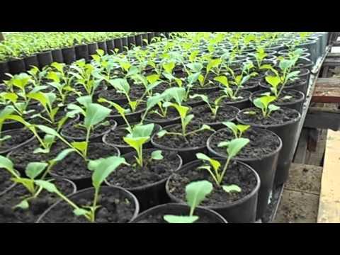 видео: как выращивать -избавляемся от лишнего тепла в теплице