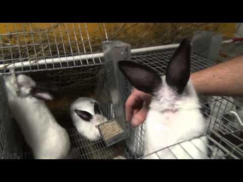 Случка кроликов в любое время без охоты самки.