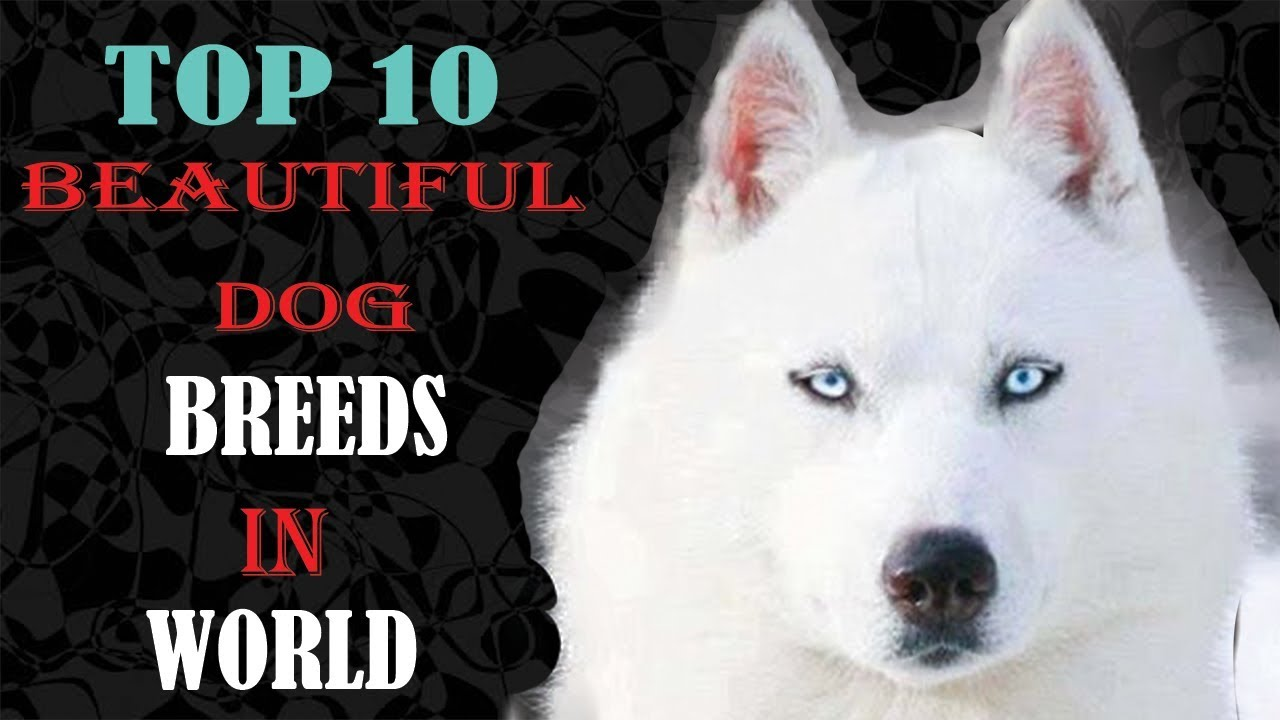 Top Ten Most Beautiful Dog Breeds In The World Youtube