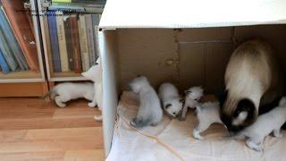 Кошка Юрата оставляет котят под присмотром их отца, кота Оскара, не забывая контролировать ситуацию!