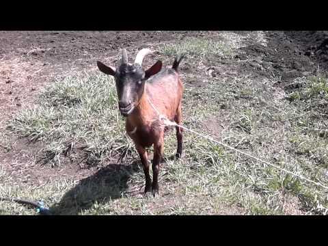 Смешные козы и козлята! Затягивающие приколы про коз