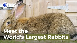 Meet the World's Largest Rabbits