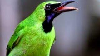 Cara Perawatan Burung Cucak Ijo Saat Mabung Rontok Bulu