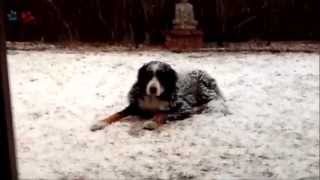 The Life Of Zeus Lear_our Beautiful Bernese Mountain Dog