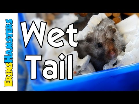Wet Tail In Hamsters (Proliferative ileitis)