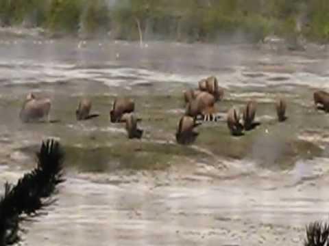 Buffalo outside Old Faithful Inn - Yellowstone National Park