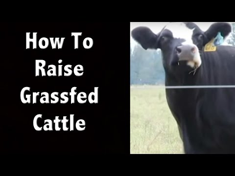 How to Humanely Raise Grass Fed Cattle - Off Grid Living