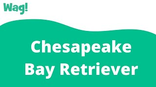 Chesapeake Bay Retriever | Wag!