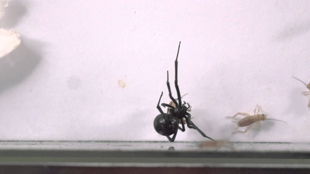 can black widow spiders kill you - 1280×720