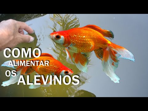 VIDA QUE SEGUE NA CAIXA DOS ALEVINOS DE KINGUIOS Canal Saalada