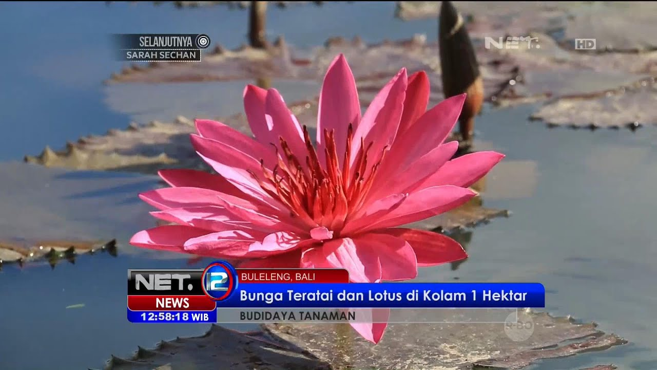 Unduh 86 Gambar Bunga Teratai Tercantik Di Dunia Gratis