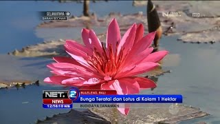 Budidaya Bunga Teratai dan Lotus di Buleleng, Bali - NET12