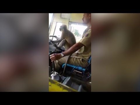 'Friendly' monkey helps bus driver steer in India