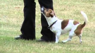 """Obedience Klasse 3, Fiete, """"sg"""", 244,5 Punkte 21.06.14 Jack Russell Terrier"""