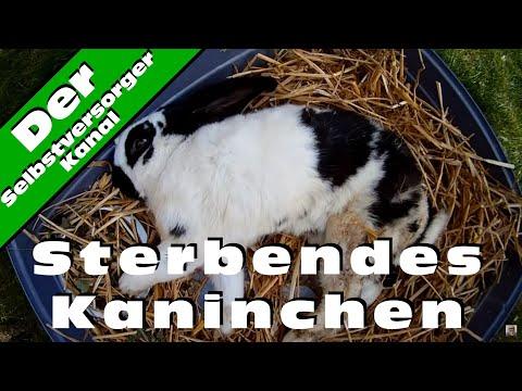 Sterbendes Kaninchen