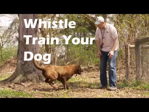 whistle-training-for-your-retriever