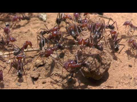 Aussie Meat Ants DESTROY Famous Australian Redback Spider (Latrodectus hasseltii) at Baraka
