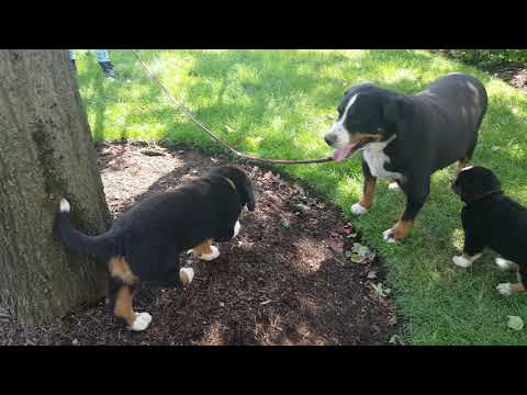PuppyFinder.com : 5.23.19 Bernese Mountain Dog