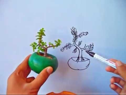super easy to grow jade bonsai without wiring mammal bonsai youtube rh youtube com Dwarf Jade Bonsai Pruning Jade Bonsai