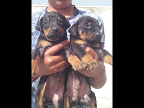 Doberman pinscher Puppies are sale only female-6000rs male- 8000 rs