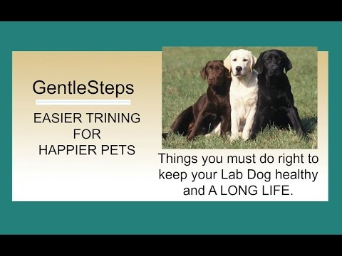 how-to-easily-potty-train-your-new-labrador-retriever-puppy- -avoiding-housetraining-accidents