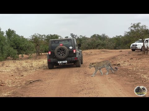 Watching A Leopard Out On A Hunt