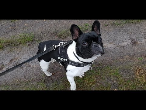 Arnie - French Bulldog - 2 Weeks Residential Dog Trainning