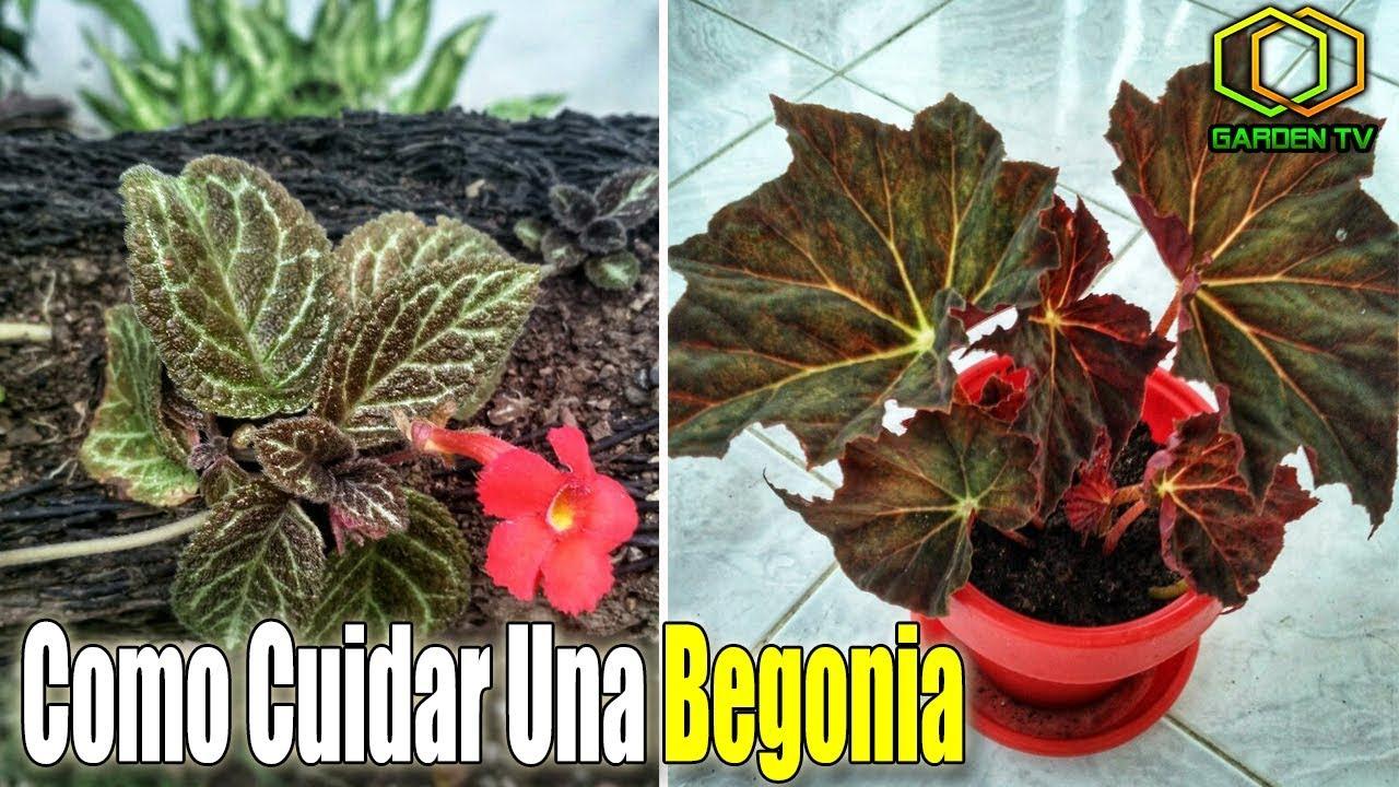 Como cuidar las begonias en macetas f cilmente youtube - Como cuidar las hortensias en maceta ...