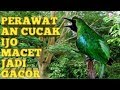 Cara Tepat Mengatasi Burung Cucak Ijo Over Birahi Dan Macet Bunyi  Mp3 - Mp4 Download