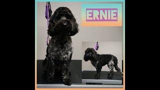 Spoodle  Ernie's Dog Grooming TransFurMation