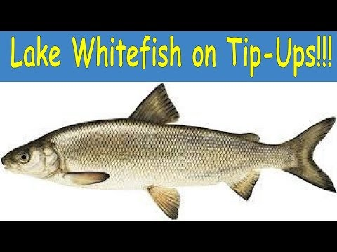 How To Catch Whitefish On Tip-Ups (Giveaway Included)