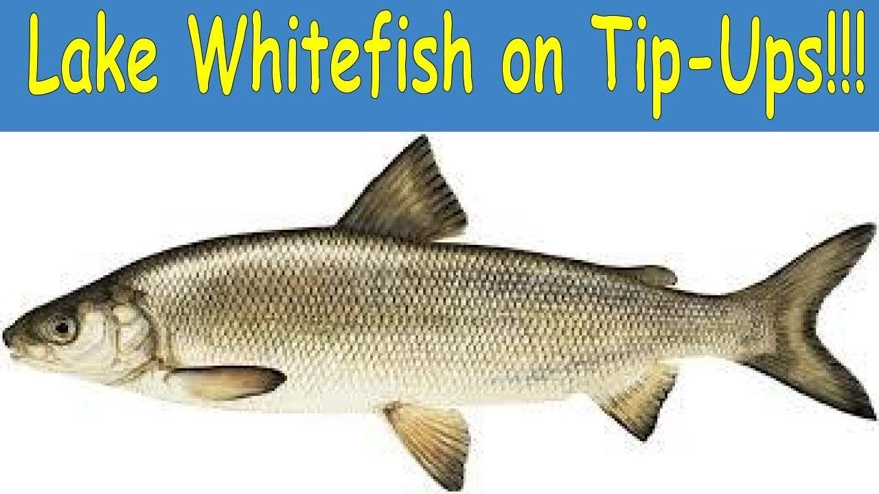 Ups whitefish
