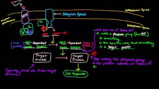 G Protein Coupled Receptors (Part 2 of 2) - Cyclic AMP - General Scheme