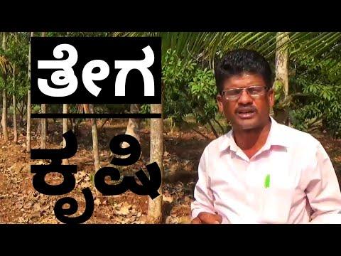 Tiki Plant Cultivation In Karnataka